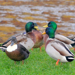 Ducks in a huddle